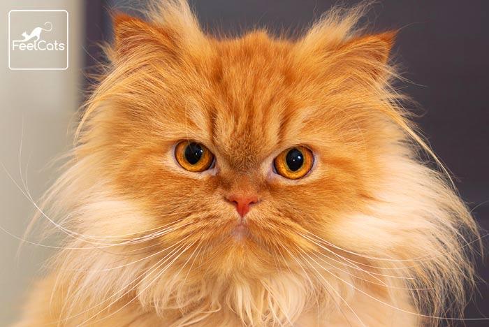 gato-persa-naranja