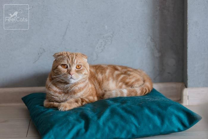 gato-raza-naranja