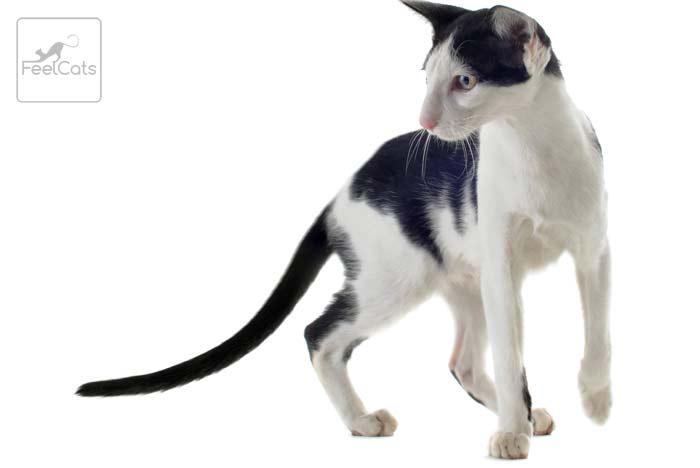 gato-oriental-bicolor