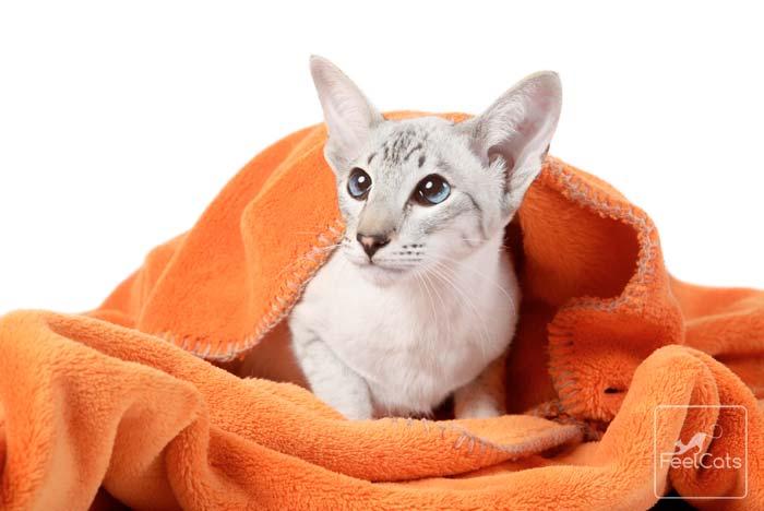 gato-siames-oriental-estrabismo