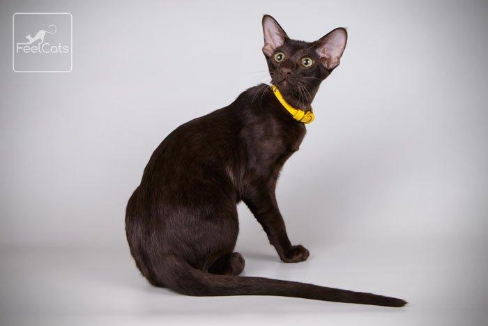 gato-oriental-cat
