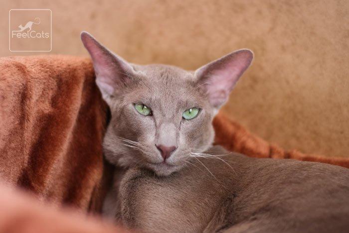 gato-gris-oriental