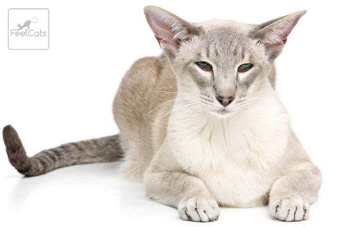 gato-oriental-silver