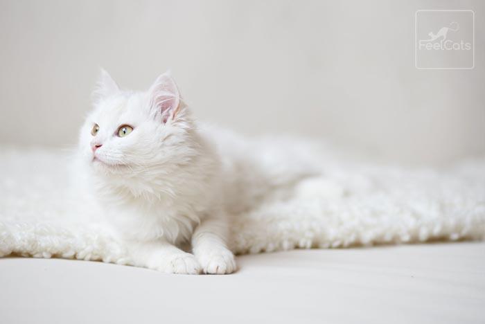 gato-blanco-persa