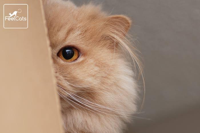 gato-naranja-persa