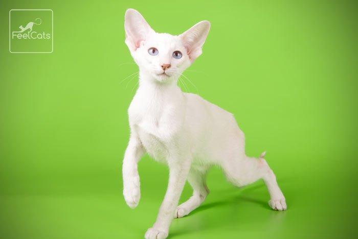 gato-oriental-blanco