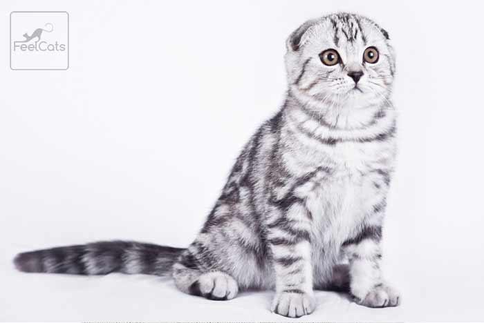 gato-gris-atigrado-silver-tabby