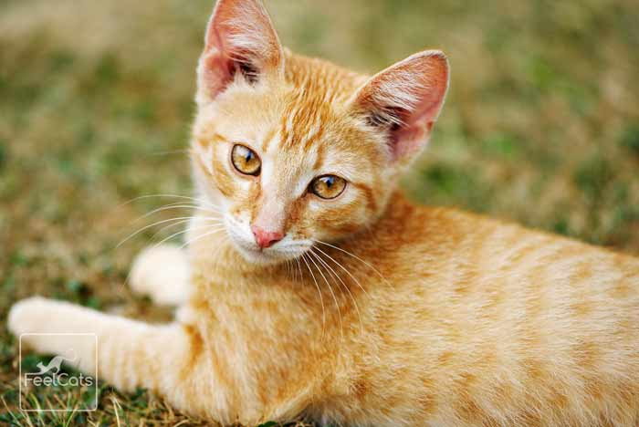 atigrado-golden-tabby-gato