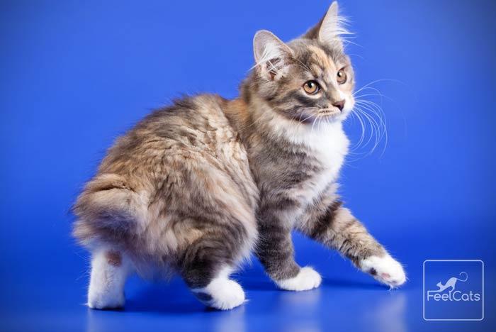 bobtail-gato-japones