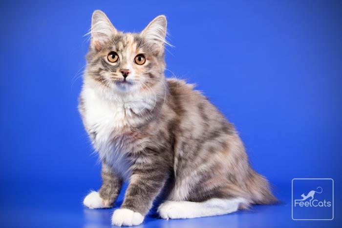 gato-bobtail-cat