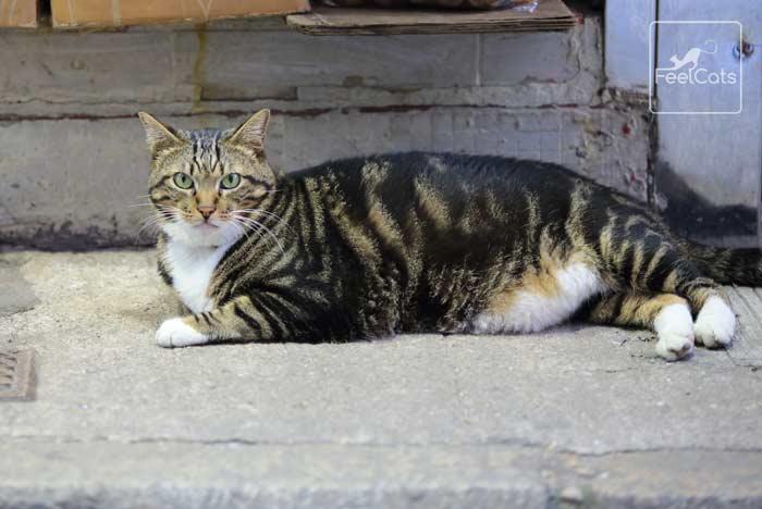 gatos-con-sobrepeso