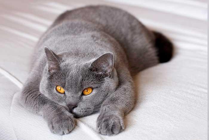 gato-gordo-razas