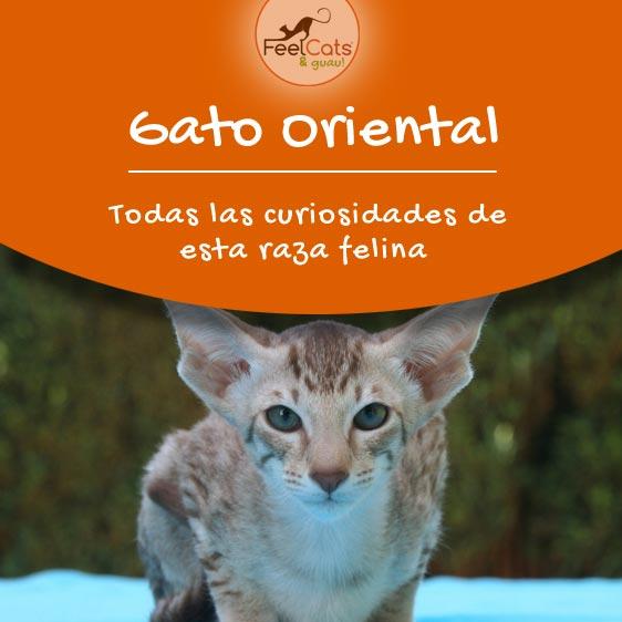 gato-oriental-raza