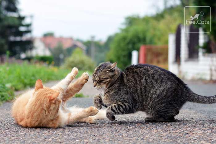 gatos-asilvestrados-peleas