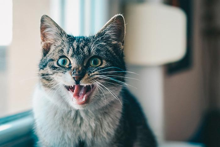 gato-domestico-maullido