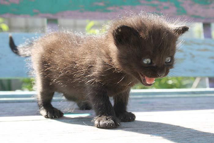 gato-bebe-maullido