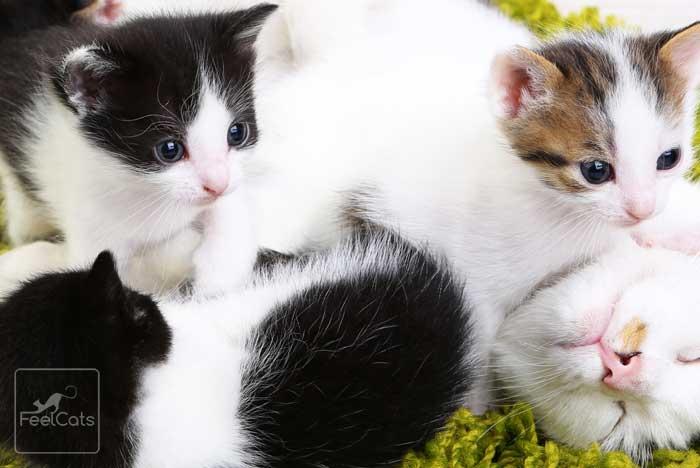 maullido-gatitos