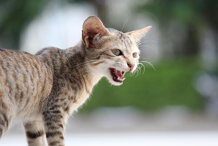 maullidos-gatos