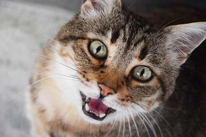gatos-maullidos