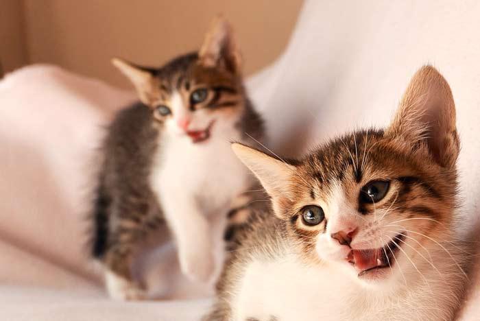 maullido-gato