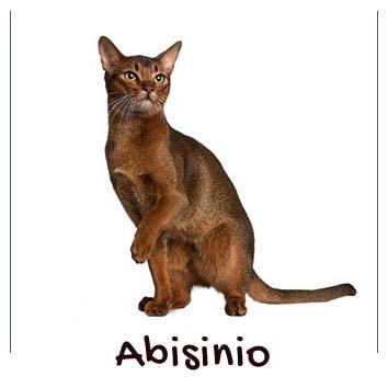 raza-gato-abisinio
