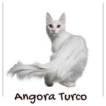 raza-gatos-angora-turco