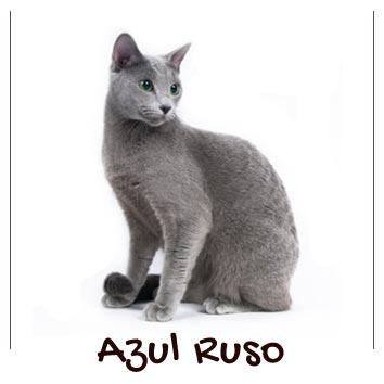 razas-gatos-azul-ruso