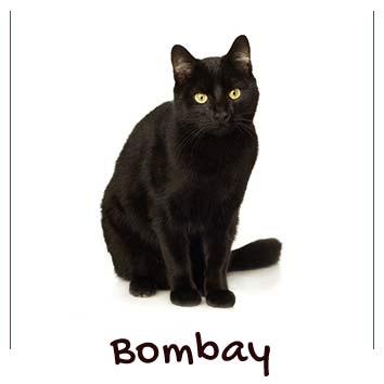razas-gato-bombay