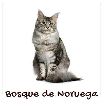 raza-gato-bosque-de-noruega