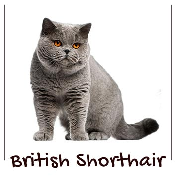 raza-gatos-british-shorthair