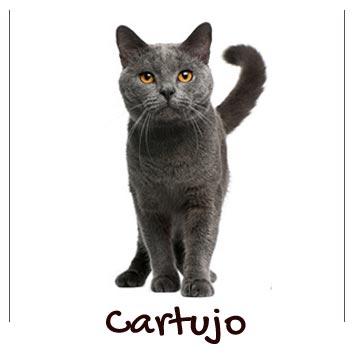 raza-gato-cartujo
