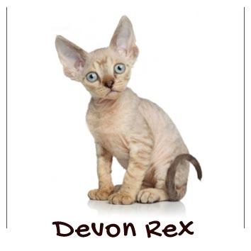raza-gatos-devon-rex