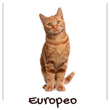 raza-gato-europeo-comun