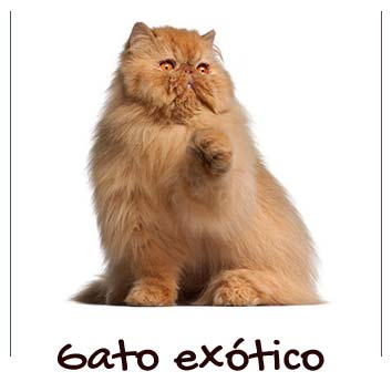 raza-gatos-exoticos