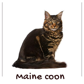 raza-gatos-maine-coon