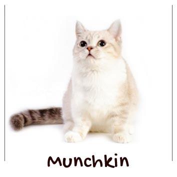 razas-gatos-munchkin