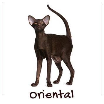 raza-gato-oriental
