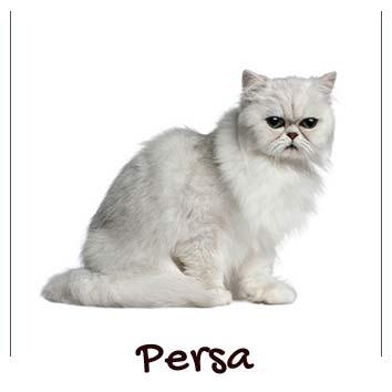 raza-gatos-persa