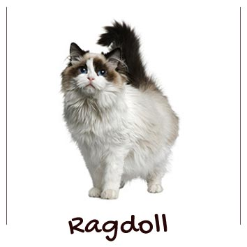 raza-gatos-ragdoll