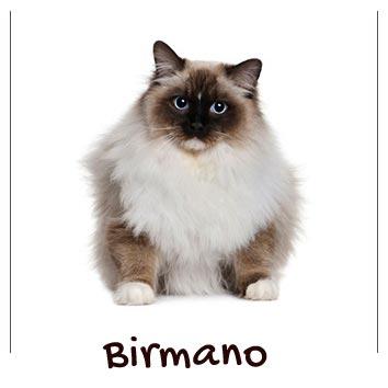 raza-gato-birmano