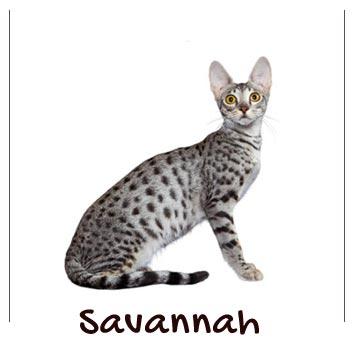raza-gato-savannah