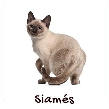 raza-gato-siames