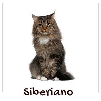 raza-gato-siberiano