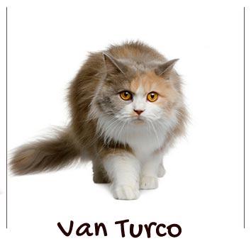 raza-gatos-van-turco
