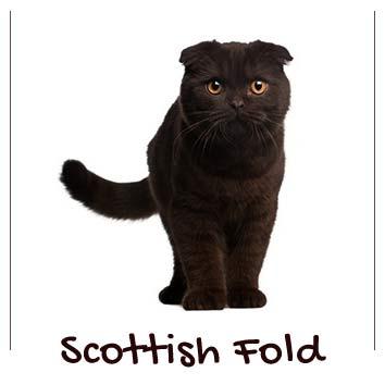 raza-gatos-scottish-fold