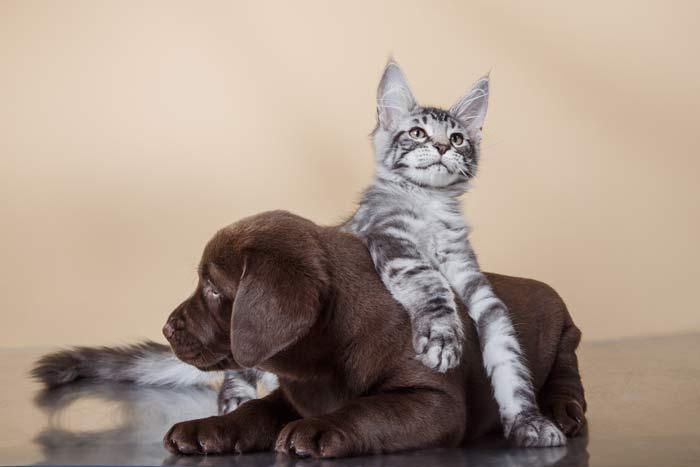 razas-gatos