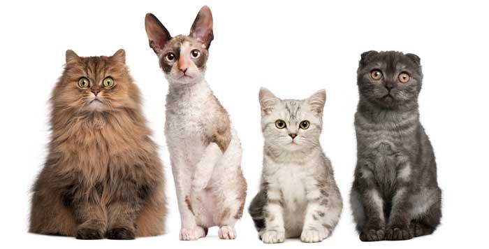 gatos-razas