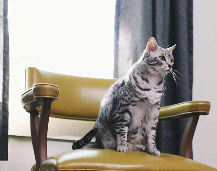 gato-mau-egipcio-raza
