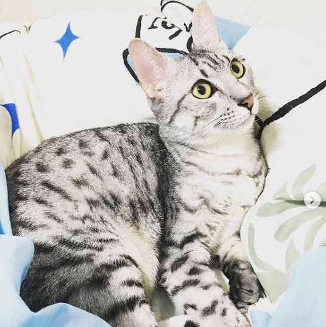 gato-mau-egipcio-plateado-atigrado