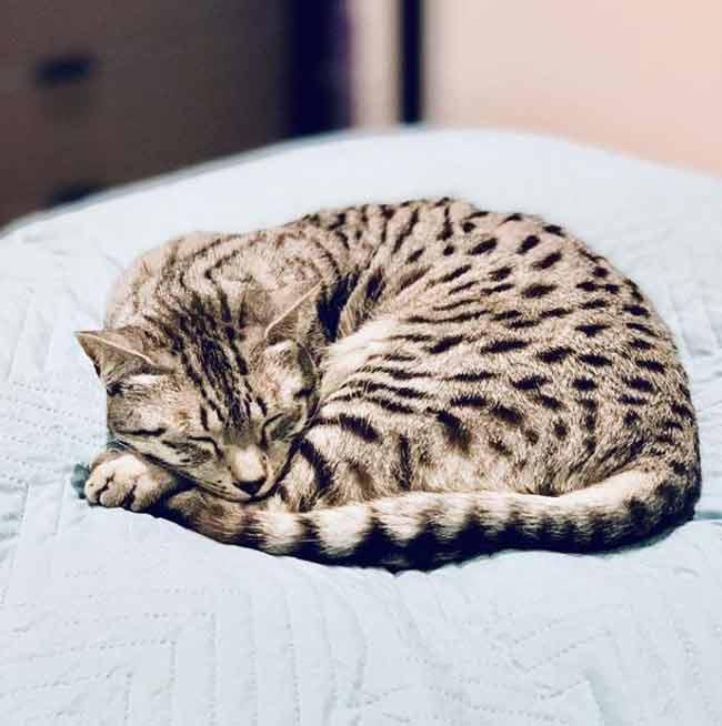 egipcio-mau-gato